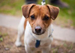 Jack Russell Terrier Resimleri