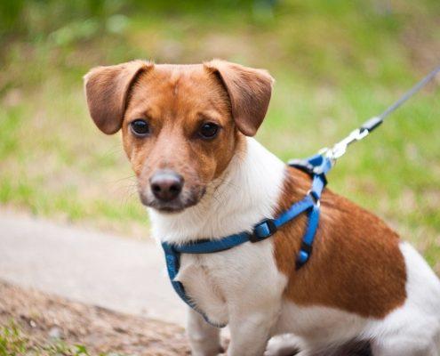 Jack Russell Terrier Fotoğrafları