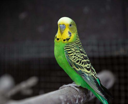 Muhabbet Kuşları Hakkında Temel Bilgiler