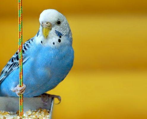 Muhabbet Kuşlarına Nasıl Eğitim Verilir?