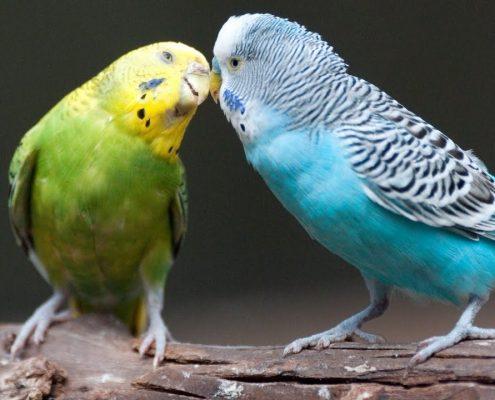 Muhabbet Kuşlarında Cinsiyet Ayrımı
