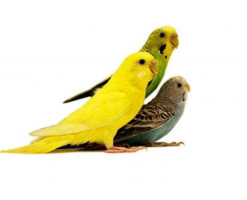 Muhabbet Kuşu Bakımında Püf Noktalar