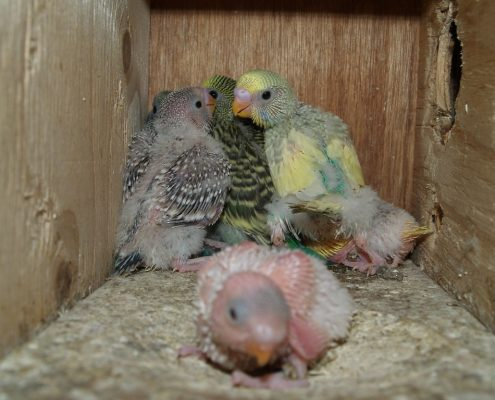 Yavru Muhabbet Kuşu Bakımı ve Beslenmesi