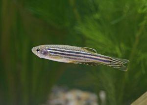 Zebra Balığı Resimleri