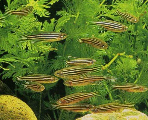 Zebra Balıkları