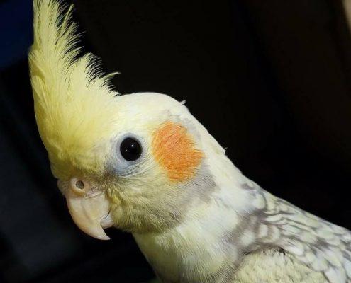Papağanlar Hakkında Temel Bilgiler