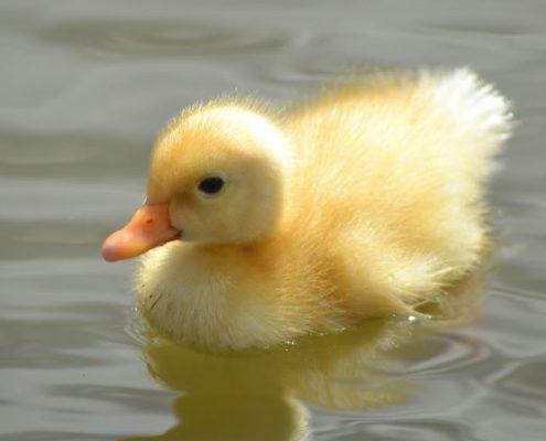 Yavru Ördek Resimleri