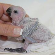 Yavru Papağan Bakımı ve Beslenmesi