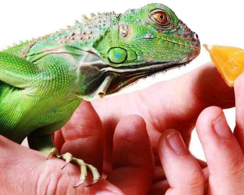 Evde İguana Nasıl Beslenir?