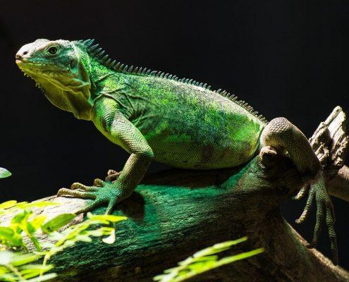 İguana Hastalıkları
