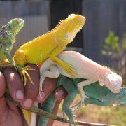 İguanalar Hakkında Temel Bilgiler