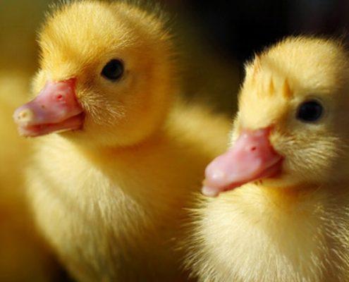 Yavru Ördek Beslenmesi̇ Nasıl Olmalıdır?