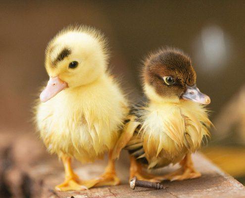 Yavru Ördek Ci̇nsi̇yeti̇ Nasıl Anlaşılır?