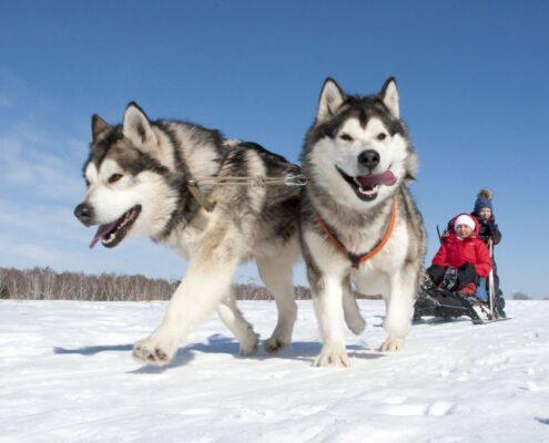 Alaska Kurdu Fotoğrafları