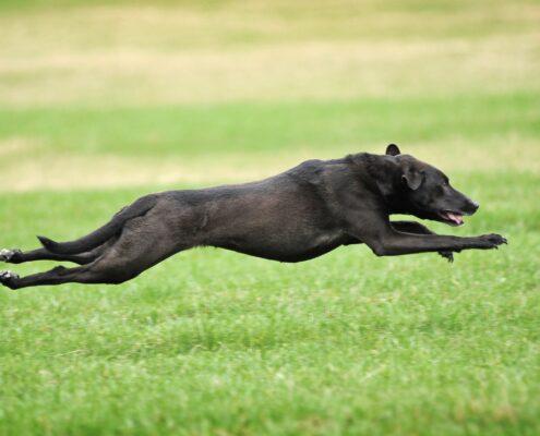 Greyhound 9