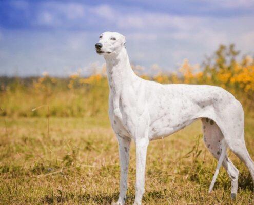Greyhound Galerisi