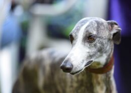 Greyhound Resimleri