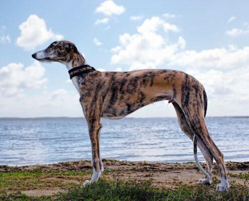 Greyhound Wallpaper