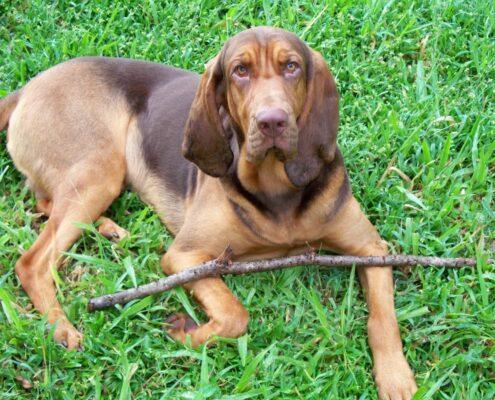 Bloodhound Resimleri