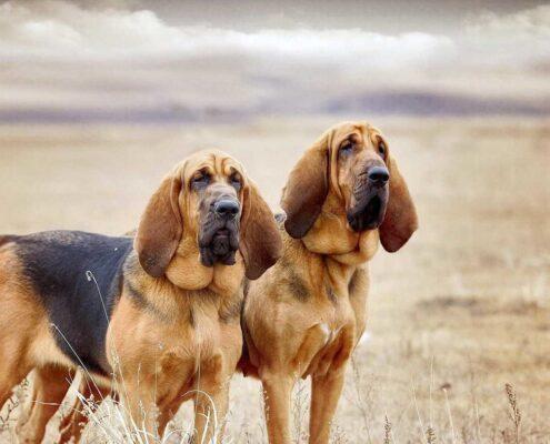 Bloodhound Duvar Kağıdı