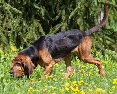 Bloodhound Foto Galeri