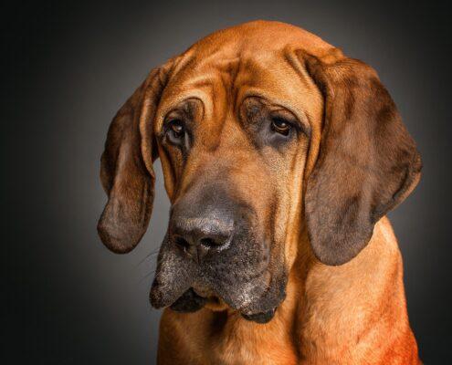 Bloodhound Wallpaper