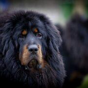 Tibet Mastifi 2