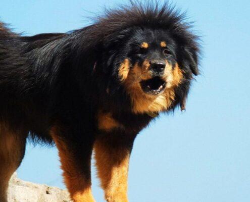 Tibet Mastifi 3