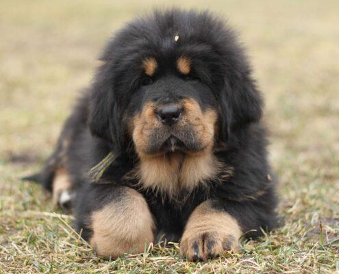 Tibet Mastifi 7