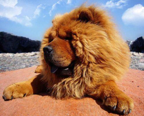 Tibet Mastifi Foto Galeri