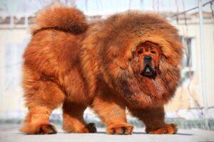 Tibet Mastifi Resimleri