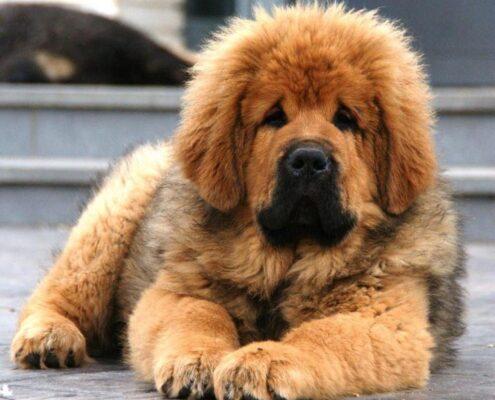 Yavru Tibet Mastifi