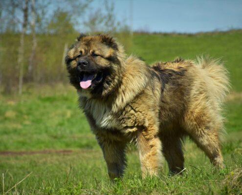 Kars Çoban Köpeği 2