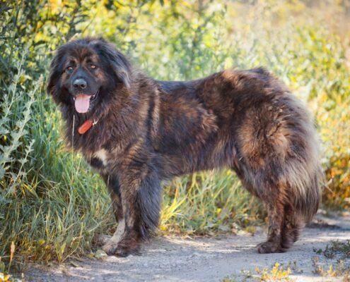 Kars Çoban Köpeği 3