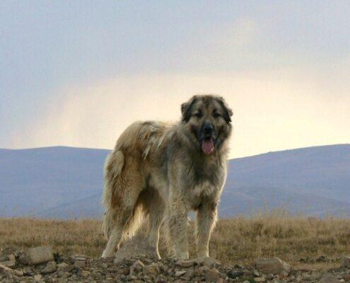 Kars Çoban Köpeği 4