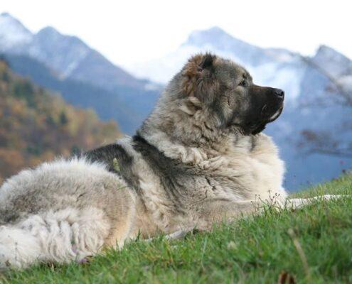 Kars Çoban Köpeği Foto Galeri