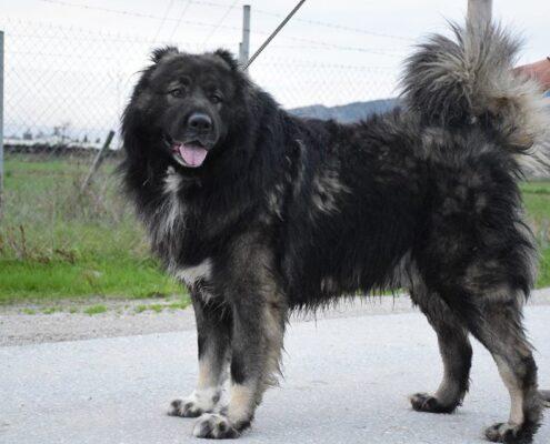 Kars Çoban Köpeği Fotoğrafları