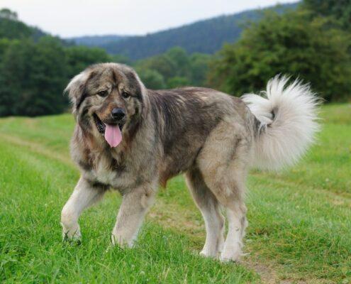 Kars Çoban Köpeği Resimleri
