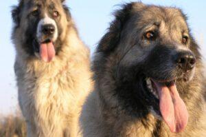 Kars Çoban Köpekleri