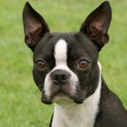 Boston Terrier Foto Galerisi
